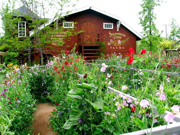 Barn-and-sweetpeas